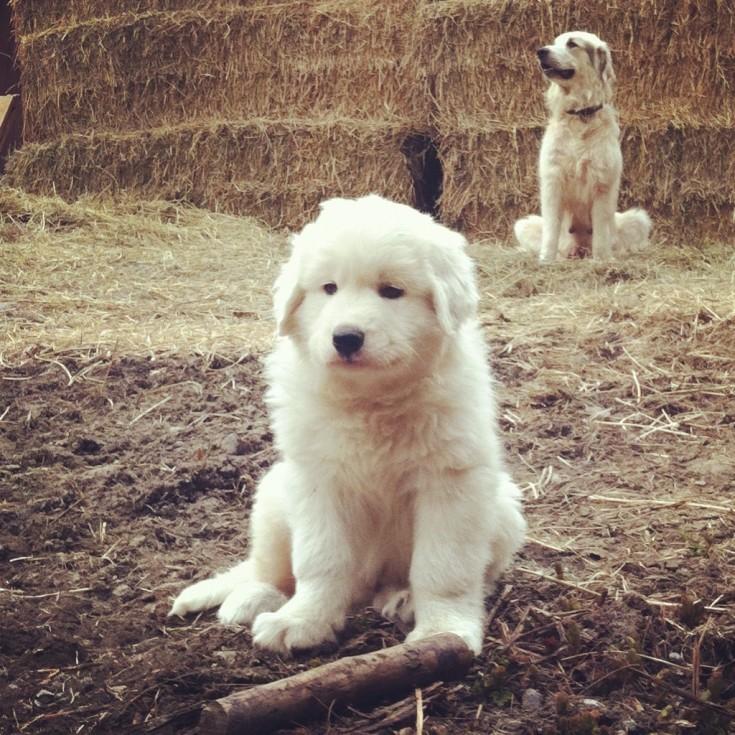 Patou puppy