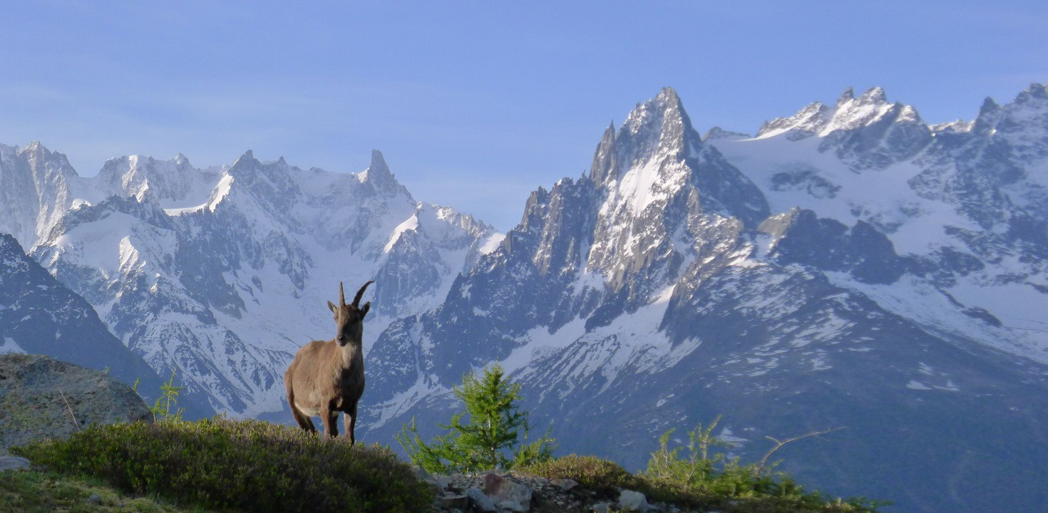 Ibex against the Aiguilles