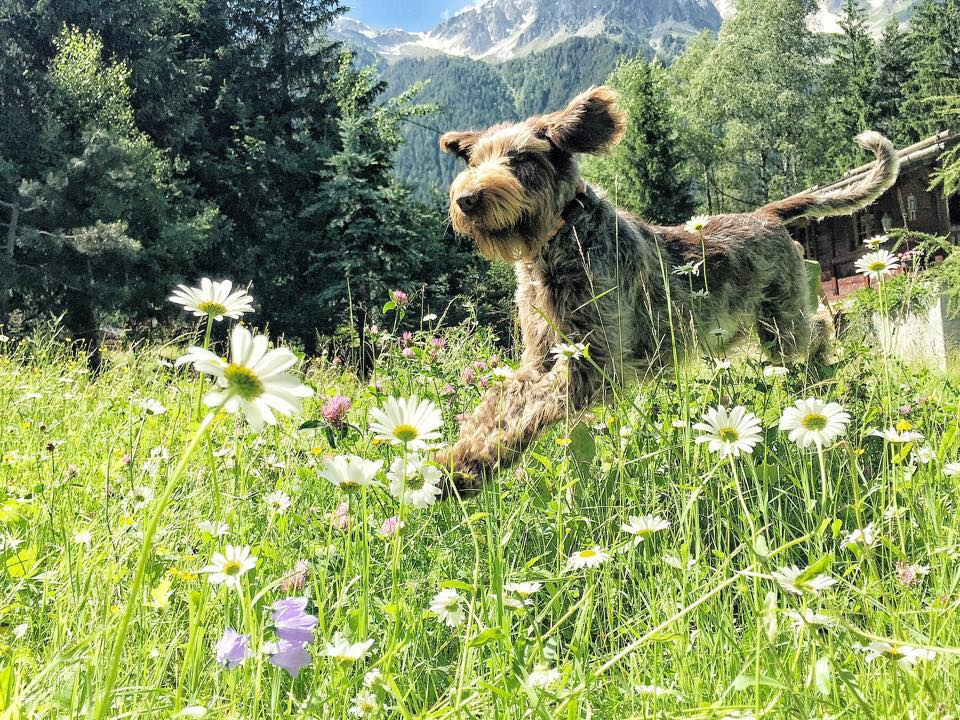 Daphne, our Italian Spinone, loves her life in the mountains